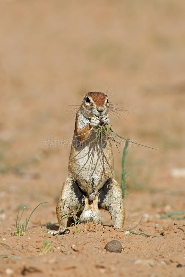 Download Ground squirrel stock photo. Image of squirrel, african - 29300958