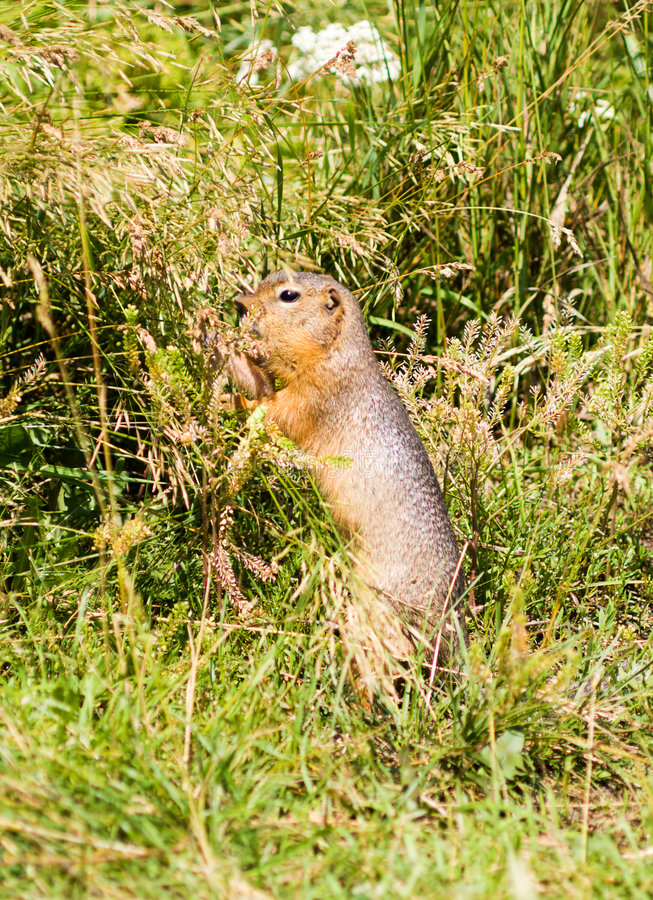 Download Ground squirrel stock image. Image of standing, eating - 4334215