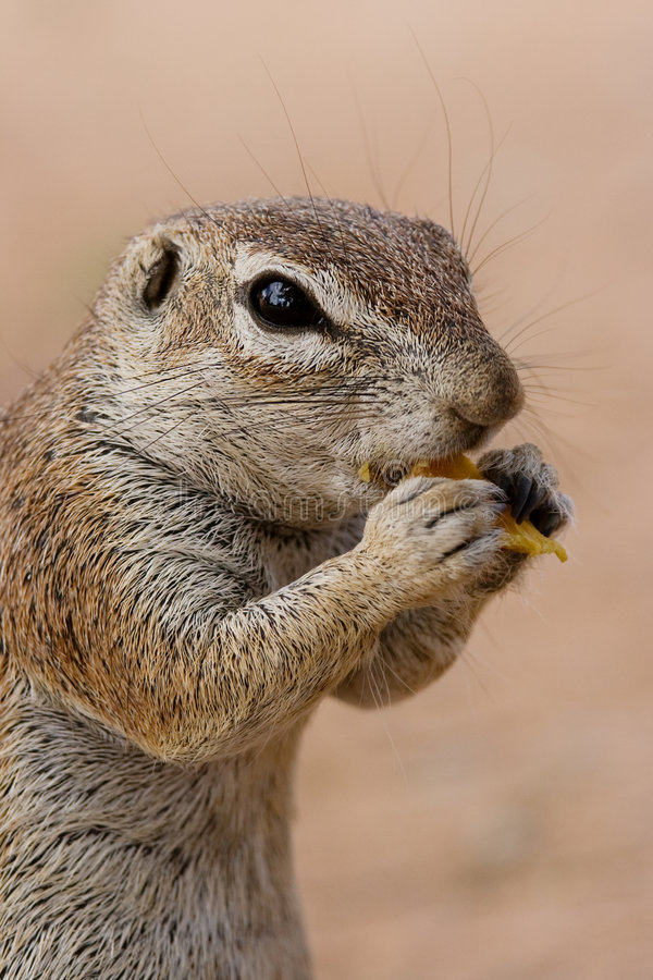 Free Ground Squirrel Stock Photography - 7592872