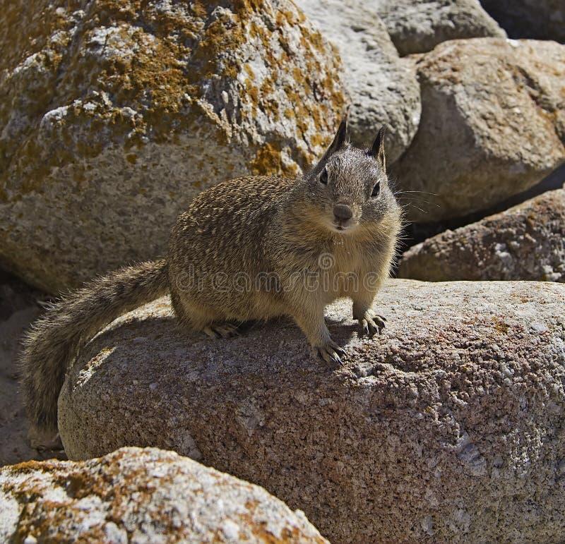 Download Ground squirrel stock photo. Image of animal, california - 34356880