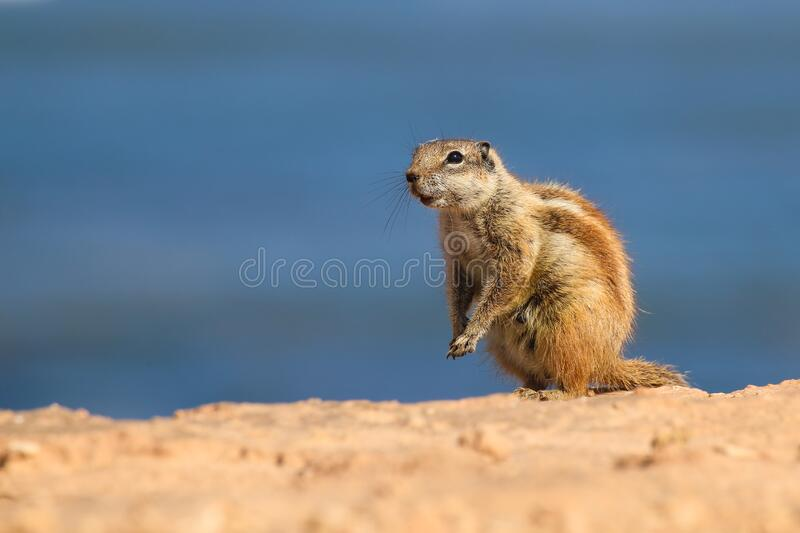 Ground squirrel close up on a deserted beach. Near the ocean stock photo