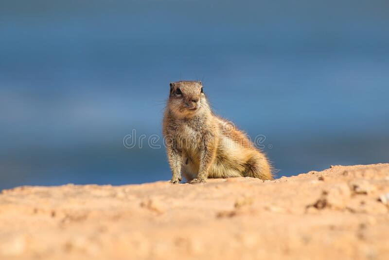 Squirrel close up on a deserted beach near the ocean. Ground squirrel close up on a deserted beach near the ocean stock photos