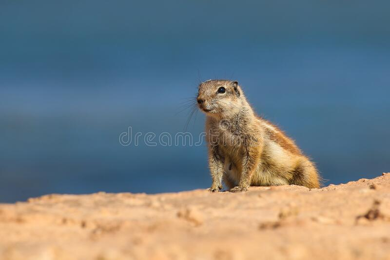 Squirrel close up on a deserted beach near the ocean. Ground squirrel close up on a deserted beach near the ocean royalty free stock image