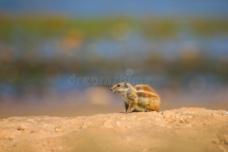 Squirrel close up on a rocky shore near the ocean coast of Africa. Ground squirrel close up on a rocky shore near the ocean coast of Africa stock image