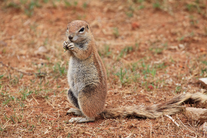 Ground squirrel feeding