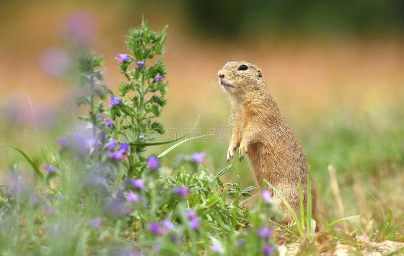 Download Ground Squirrel And Flower Royalty Free Stock Photos - Image: 32246848