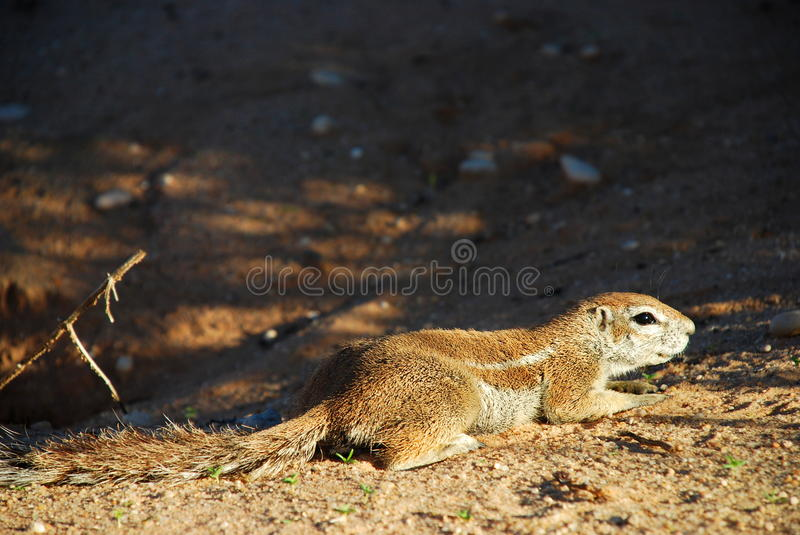 Ground squirrel. Kgalagadi Transfrontier Park. Northern Cape, South Africa. Kgalagadi Transfrontier Park is a large wildlife preserve and conservation area in stock photos