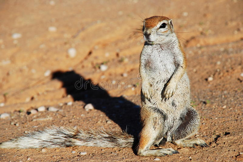 Ground squirrel. Kgalagadi Transfrontier Park. Northern Cape, South Africa. Kgalagadi Transfrontier Park is a large wildlife preserve and conservation area in stock photo