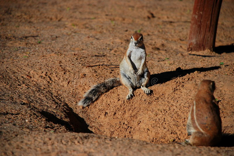Ground squirrel. Kgalagadi Transfrontier Park. Northern Cape, South Africa. Kgalagadi Transfrontier Park is a large wildlife preserve and conservation area in royalty free stock photo