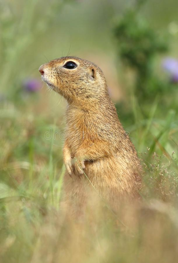 Download Ground squirrel stock photo. Image of squirrel, hairy - 32246866