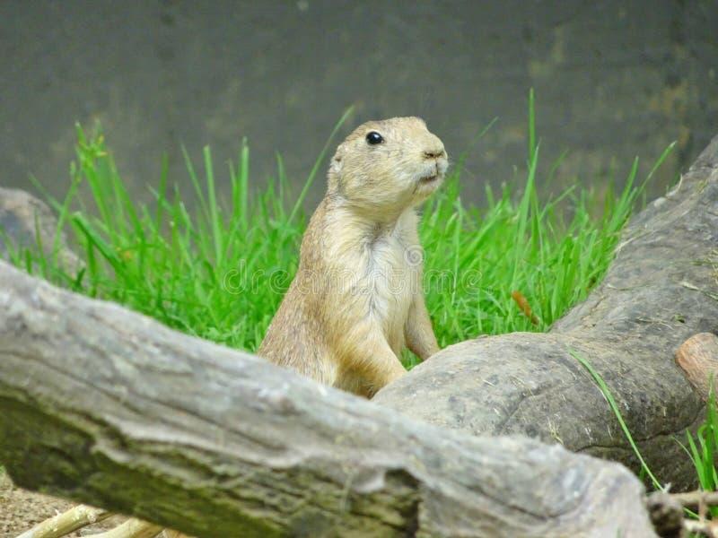 Ground-squirrel royalty free stock photos