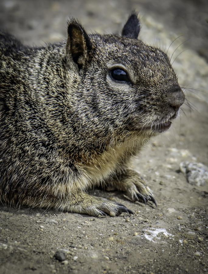 Ground Squirrel With Spots. Wild ground dwelling squirrel perched on rock royalty free stock photo