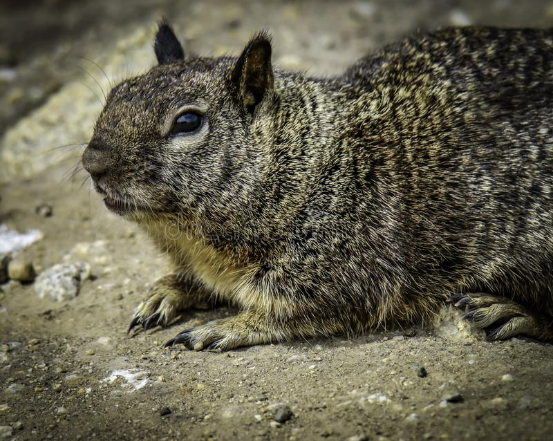 Ground Squirrel With Spots. Wild ground dwelling squirrel perched on rock stock photos