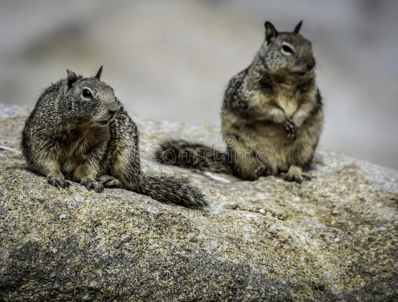 Ground Squirrel With Spots. Wild ground dwelling squirrels perched on a rock royalty free stock images