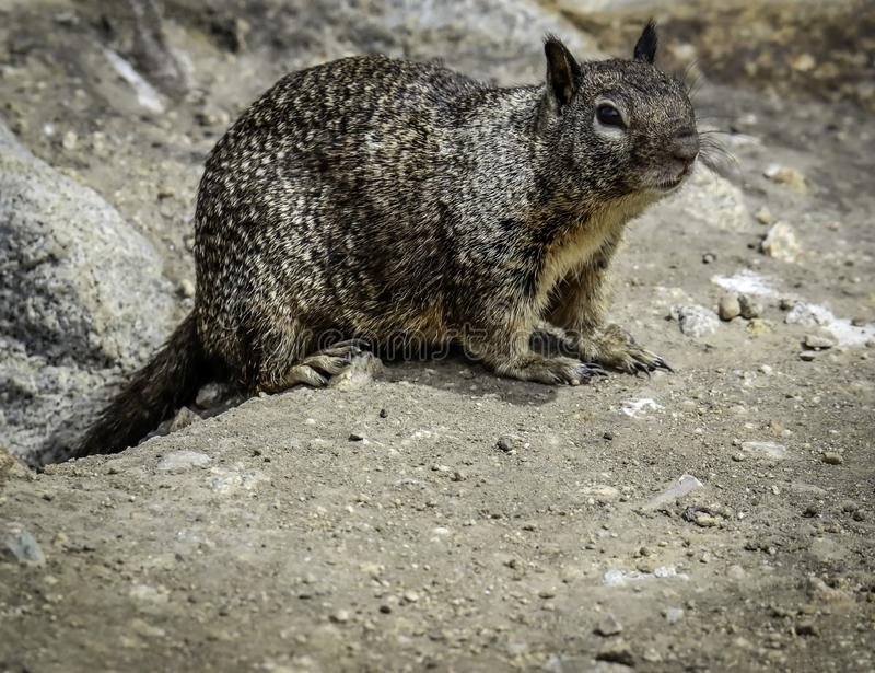 Ground Squirrel With Spots. Wild ground dwelling squirrel standing on rocky sand stock photography