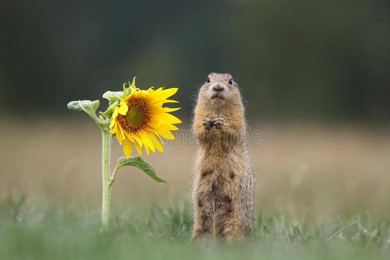 Download Ground Squirrel By Sunflower Stock Photo - Image: 26495296