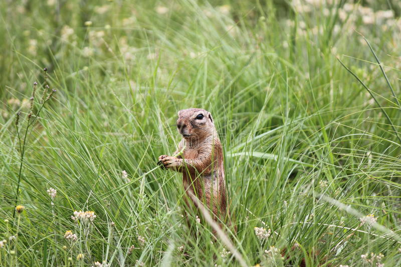 Download Ground Squirrel Stock Photos - Image: 31931953