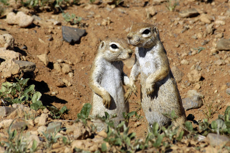 Ground squirrels. In Namibia, Africa stock image