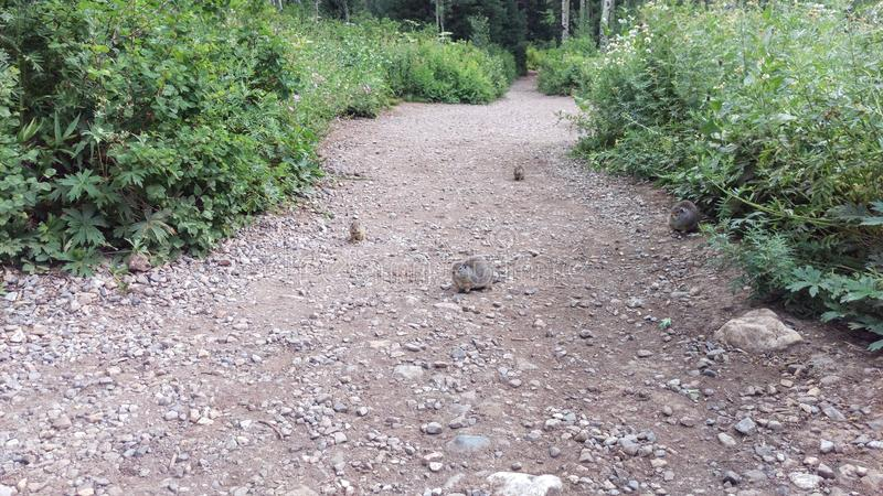 Ground Squirrels on Forest Path. Fat ground squirrels waiting for food on the forest path royalty free stock photos