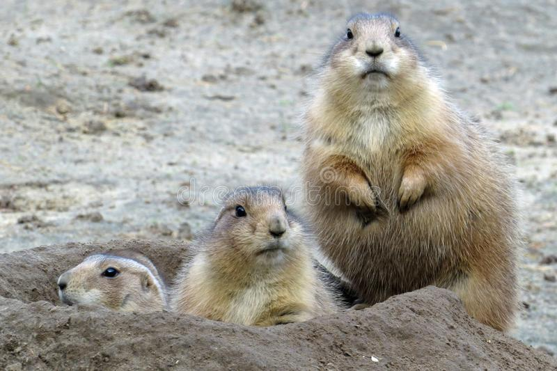 Three ground squirrels looking out of their burrow royalty free stock images