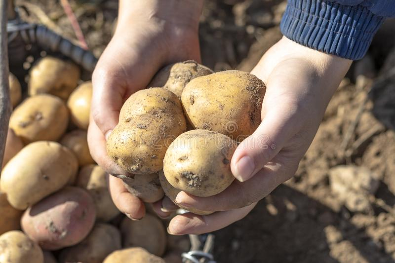The ground under your feet. A man holds potatoes in his hands. Street lighting. the ground under your feet. A man holds potatoes in his hands, field, agriculture stock photo