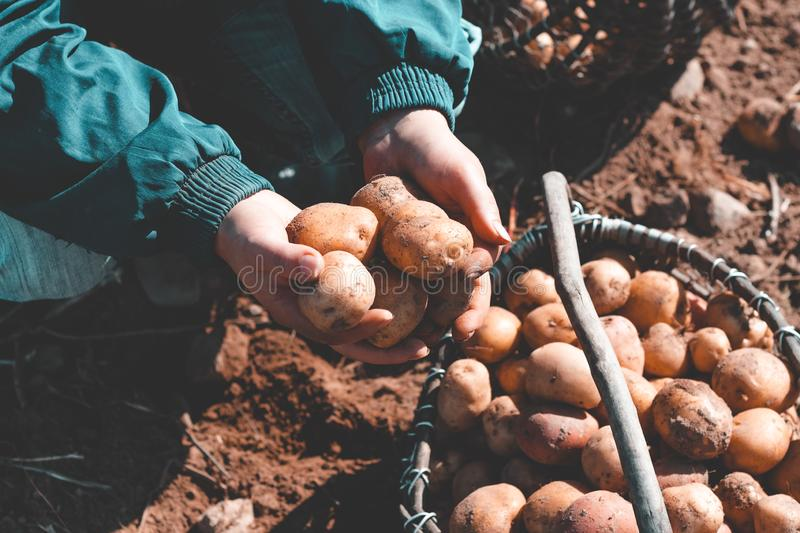 The ground under your feet. A man holds potatoes in his hands. Street lighting. the ground under your feet. A man holds potatoes in his hands, field, agriculture royalty free stock photo