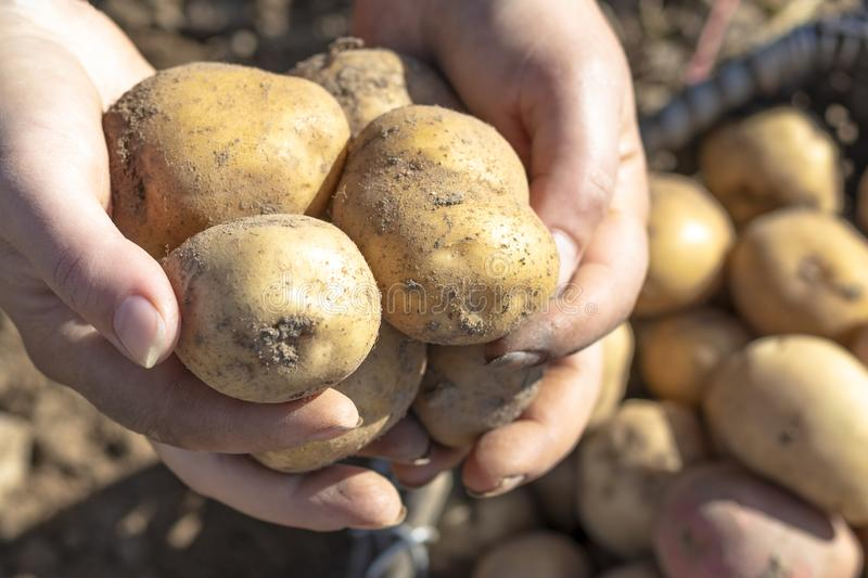 The ground under your feet. A man holds potatoes in his hands. Street lighting. the ground under your feet. A man holds potatoes in his hands, field, agriculture stock photography