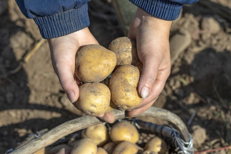 The ground under your feet. A man holds potatoes in his hands. Street lighting. the ground under your feet. A man holds potatoes in his hands, field, agriculture royalty free stock photos