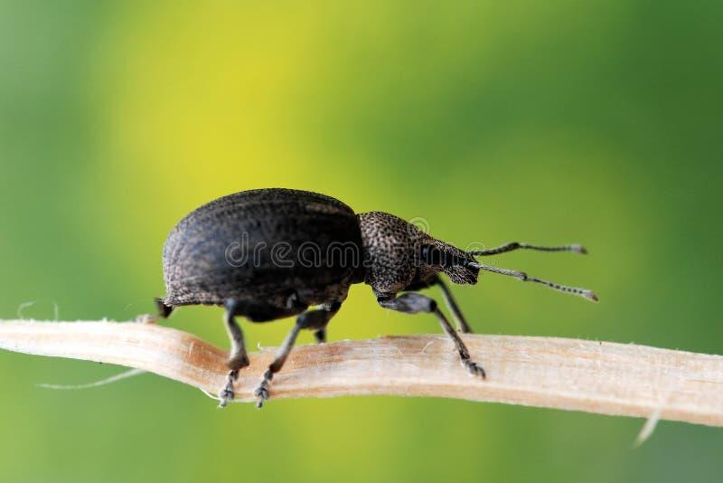 Download Ground Weevil stock photo. Image of nose, barynotus, brown - 26568072