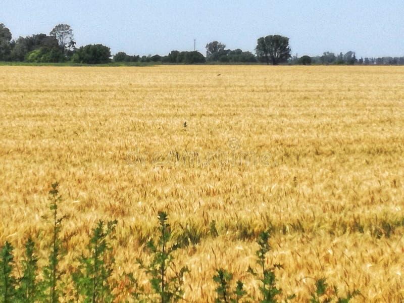 Ground of wheat stock photo