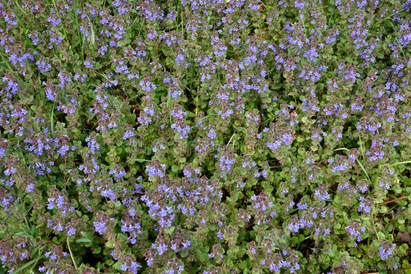 Groundcover of Groud-Ivy. Lush groundcover of Groud-Ivy, blooming with hundreds of small bluish-violet flowers royalty free stock photography
