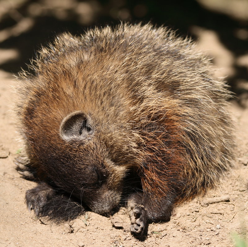 groundhog休眠年轻人 库存照片
