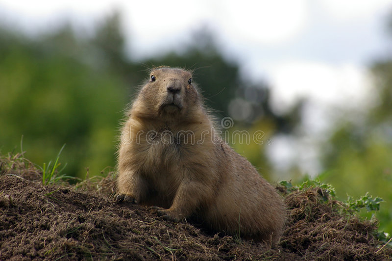 Groundhog 02 stock image