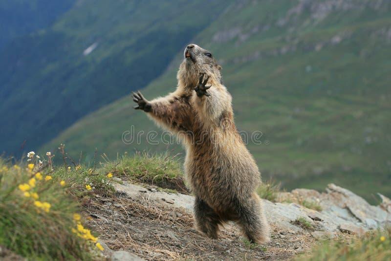 Download Groundhog foto de stock. Imagem de selvagem, verde, adorable - 10062942