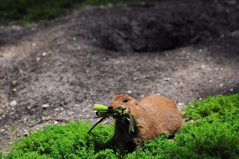 Download Groundhog stock image. Image of marmot, ground, food - 19414503