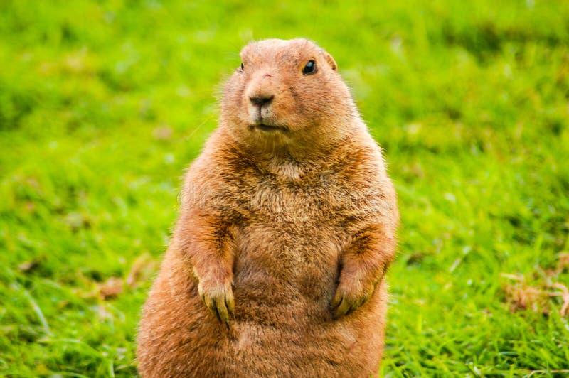 groundhog royalty-vrije stock fotografie