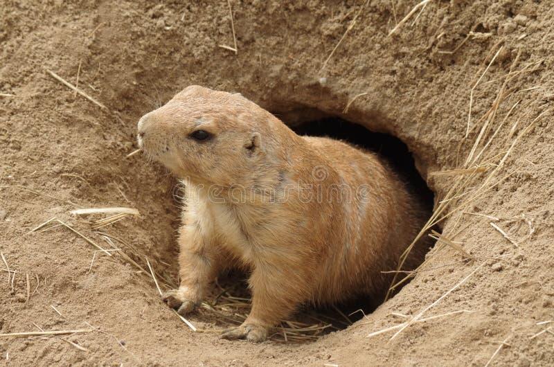 groundhog image libre de droits