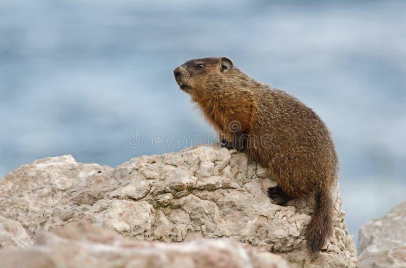 groundhog royalty-vrije stock foto