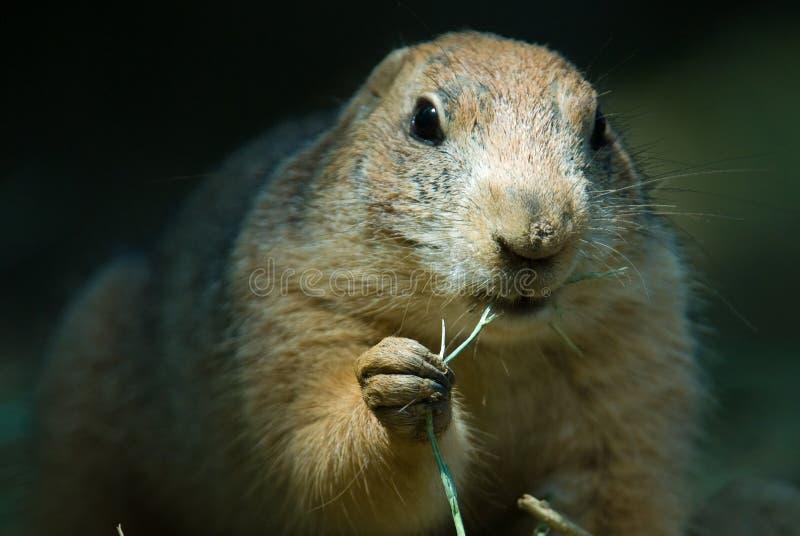 groundhog 免版税图库摄影