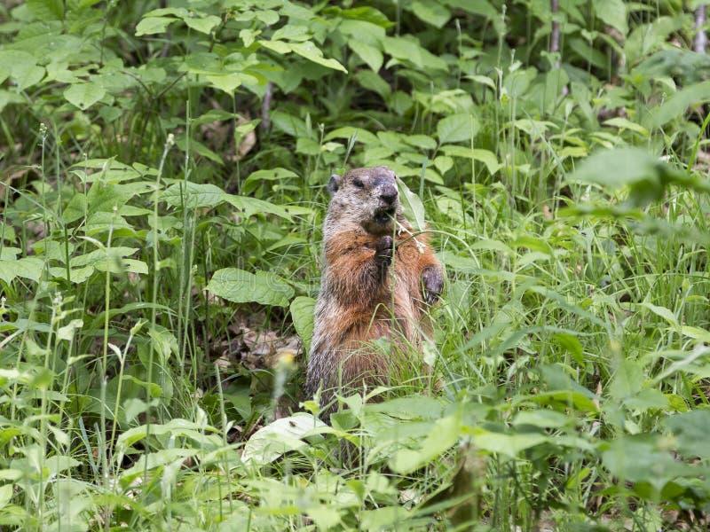Groundhog anseende med gräs i öppen mun fotografering för bildbyråer