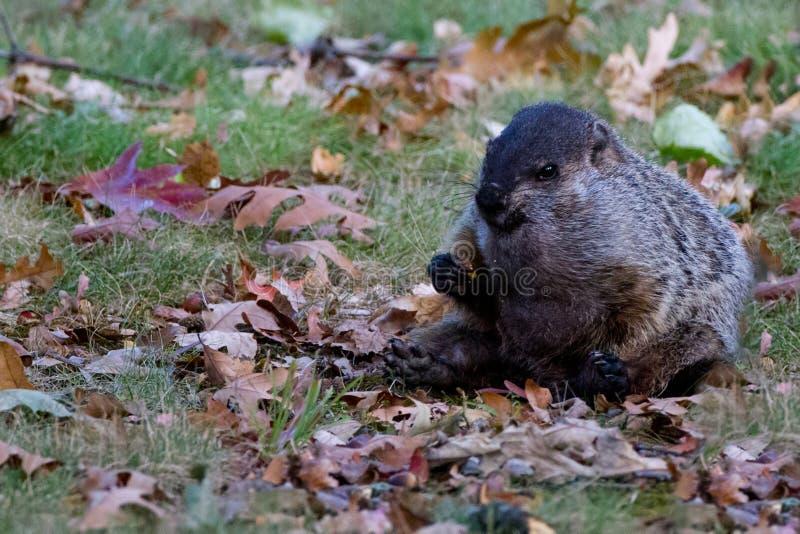 Groundhog assentou fotografia de stock royalty free