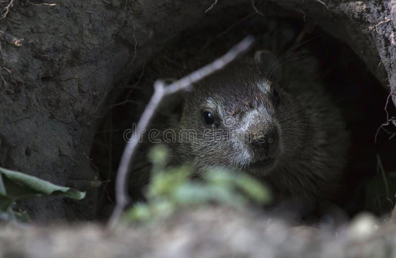 Groundhog dans un cimetière image libre de droits