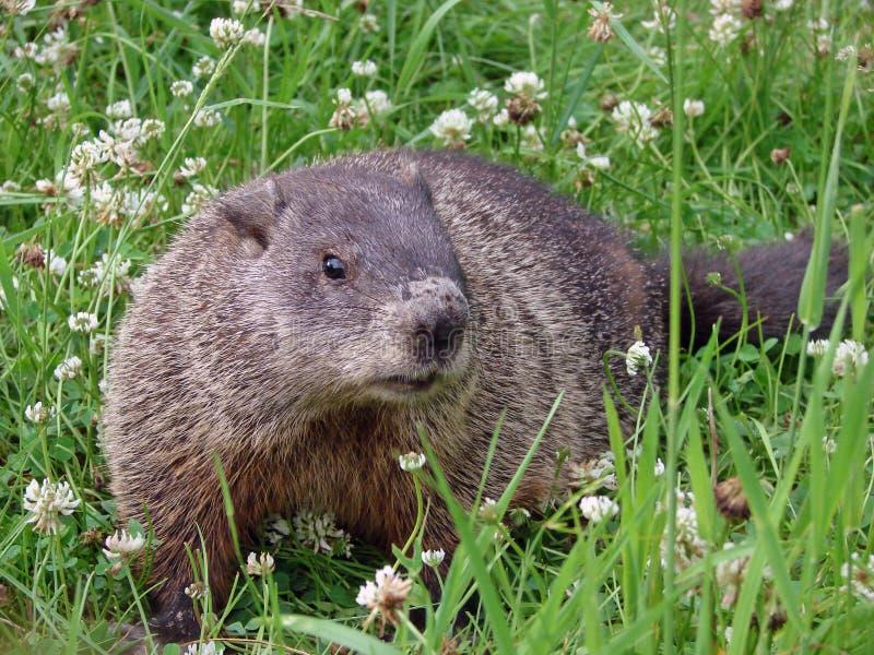 Groundhog in de klavers stock foto's
