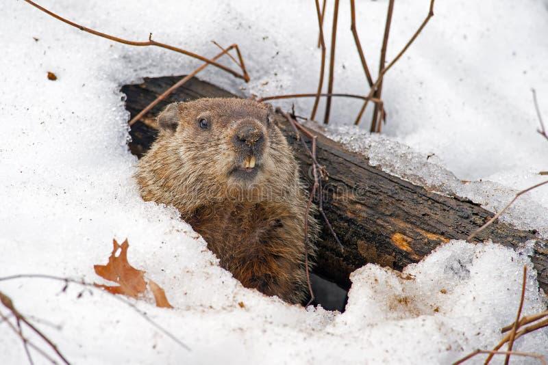 Groundhog. Den in the snow
