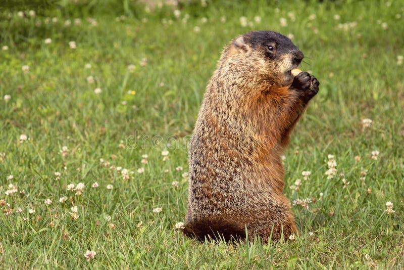 Groundhog die Pinda's in Shell eten stock foto's