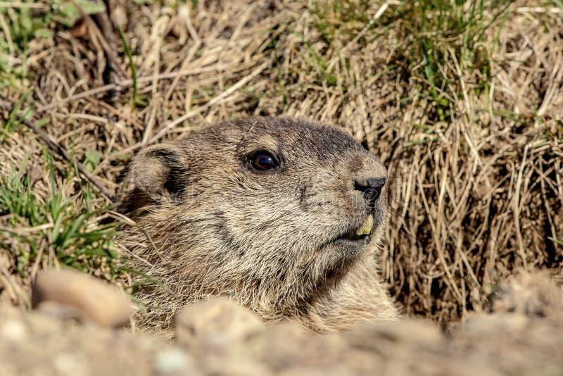 Groundhog die uit zijn gat komen stock afbeeldingen