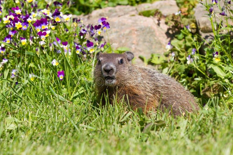 Groundhog eating. Near flowers during springtime royalty free stock photos