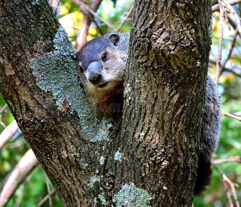 Groundhog in einem Baum lizenzfreie stockbilder
