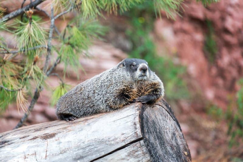 Groundhog em um log fotos de stock
