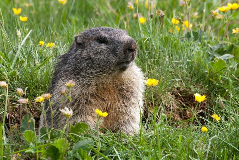 Groundhog en un prado foto de archivo libre de regalías
